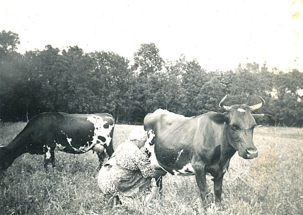 Agda Jakobsson Hallute 146, född 1897, mjölkar