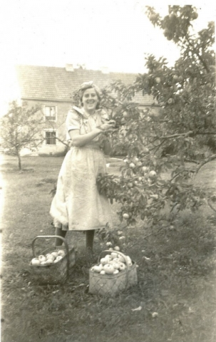 Elsie Hägg Siglajvs 848, född Skogs i Hejde 1928, plockar äpplen 1953
