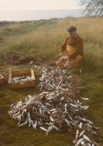Karl Karlsson Folke 537, född 1904 – Lisbeth Kristianssons pappa – tar hand om fiskfångsten i Djaupdy