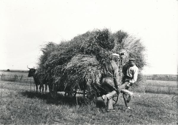 Gangvide 503: lasset med rågskupar spänns fast medan oxen väntar