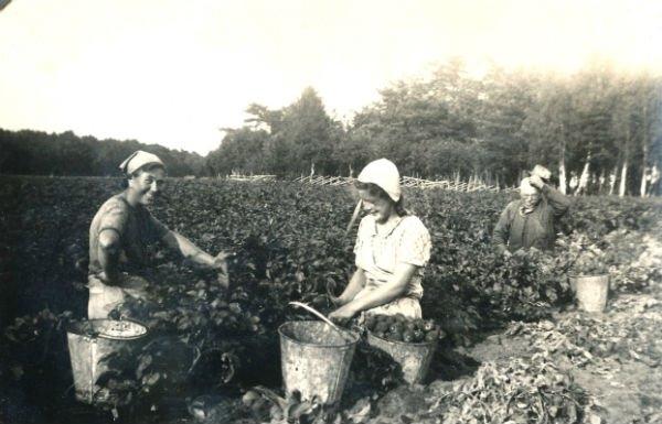 Potatisupptagning vid Kulle 862: Hermanna Jakobsson, född 1909, gift Dahlgren; en piga; och Karl – Kull-Kalle – Jakobsson, född 1878.