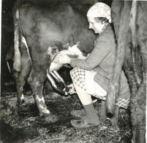 Alva Nilsson Bomunds i Hammaren 510, född 1914, mjölkar