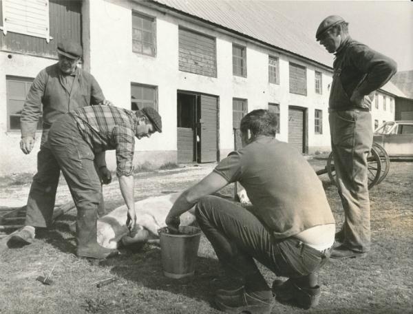 Villy Funk från Hallbjärs 611 slaktar gris vid Mickels 607 med hjälp av Olof Häglund Mickels 607, född 1903, och Herbert Karlsson Bomunds i Hammaren 549, född 1921.