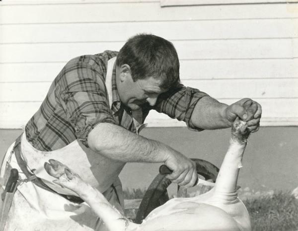 Slakt vid Mickels 607: slaktkniven är i händerna på Villy Funk Hallbjärs 611, född 1930 i Rone.