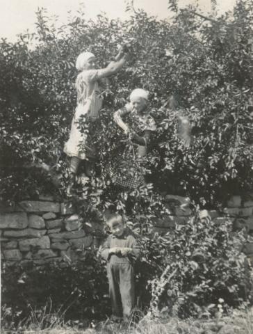 Körsbärsplockning vid Kulle 862: I trädet Hermanna Dahlgren, född Jakobsson 1909, och Anna-Lisa Sjöqvist. Nedanför trädet står Karl-Gustav Jakobsson Siglajvs 848, född 1929 som efter sitt giftermål tog hustruns efternamn Hägg